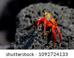 Sally Lightfoot Crab Or Red...