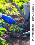 planting strawberries in the... | Shutterstock . vector #1092733019