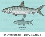 Bonefish. Vector Illustration...