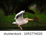 pelican from danube delta | Shutterstock . vector #1092774020