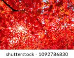 autumn colorful red maple leaf... | Shutterstock . vector #1092786830