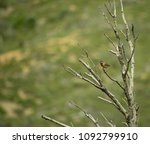 image shows a subalpine warbler ... | Shutterstock . vector #1092799910