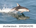 jumping pacific white sided... | Shutterstock . vector #1092814190