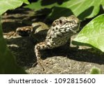 lizard in the nature | Shutterstock . vector #1092815600