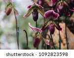 beautiful orchid flower in the... | Shutterstock . vector #1092823598