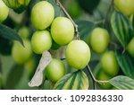 jujube fruits or monkey apple   ... | Shutterstock . vector #1092836330