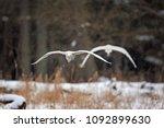 great egret  ardea alba | Shutterstock . vector #1092899630