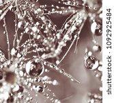 dandelion in droplets  macro | Shutterstock . vector #1092925484