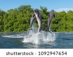 three dolphins at the moment of ... | Shutterstock . vector #1092947654