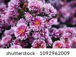 Chrysanthemums In The Nikitsky...