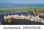 dalmatian pelicans  pelecanus... | Shutterstock . vector #1092978128