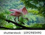 beautiful tropical bird showing ... | Shutterstock . vector #1092985490