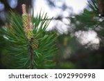 pine sprout closeup | Shutterstock . vector #1092990998