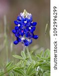 Isolated Bluebonnet With Insect