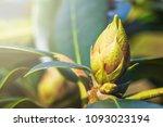 azalea  rhododendron in the bud.... | Shutterstock . vector #1093023194