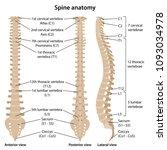 human vertebral column in front ... | Shutterstock .eps vector #1093034978
