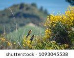 merops apiaster birds stays on... | Shutterstock . vector #1093045538