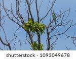 merops apiaster bird stay from... | Shutterstock . vector #1093049678