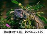green iguana   iguana iguana  | Shutterstock . vector #1093137560