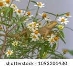 a cute lizard in the flower... | Shutterstock . vector #1093201430