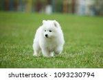 white samoyed puppy dog outdoor ...   Shutterstock . vector #1093230794