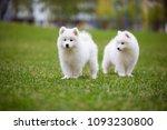 white samoyed puppy dog outdoor ...   Shutterstock . vector #1093230800