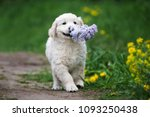 adorable golden retriever puppy ...   Shutterstock . vector #1093250438