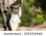 wolf s guenon monkey holding... | Shutterstock . vector #1093256960