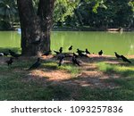 Monitor Lizard And The Crows...