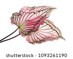 caladium bicolor with pink leaf ... | Shutterstock . vector #1093261190