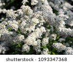 spiraea cinerea 'grefsheim' ... | Shutterstock . vector #1093347368
