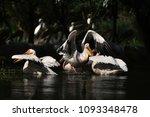 pelicans in danube delta | Shutterstock . vector #1093348478