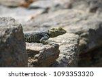 big lizard enjoying the warmth... | Shutterstock . vector #1093353320