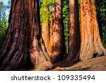 Giant Sequoias In Yosemite...