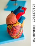 Small photo of Plastic model of the heart. Veins, arteries and aorta