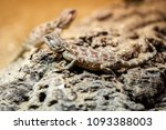 brown lizard sitting on a brown ... | Shutterstock . vector #1093388003