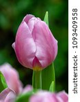 Small photo of Flower - A stalk of Tulipa 'Synaeda Amor', triumph tulip bulbs against a blur background. Soft pink petals with a gentle bluish blush.