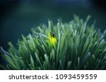 firefly on grass at dusk | Shutterstock . vector #1093459559