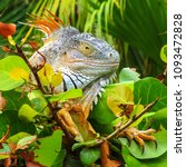 iguana in nature habitat  latin ... | Shutterstock . vector #1093472828
