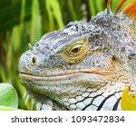 iguana in nature habitat  latin ... | Shutterstock . vector #1093472834