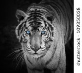 white tiger | Shutterstock . vector #109350038