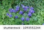 Small photo of Granny,s bonnet, Aquilegia alpina. Ranunculaceae family