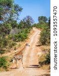 giraffe in kruger national park ...   Shutterstock . vector #1093557470