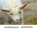 Close Up Of A Cute Baby Goat I...