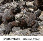 salt deposits on marine iguanas'... | Shutterstock . vector #1093616960