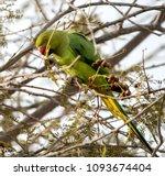 a parakeet captured from qurum... | Shutterstock . vector #1093674404