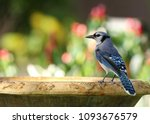 Beautiful blue jay bird getting ...