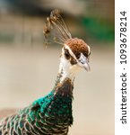 a plumage of female peacock in... | Shutterstock . vector #1093678214