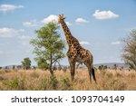 giraffe in the kruger national... | Shutterstock . vector #1093704149