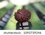 Chestnut With Hedgehog Close Up